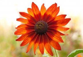 Обои цветок, лепестки, ромашка, макро
