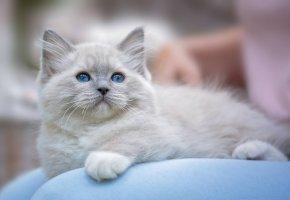 Обои котёнок, глаза, голубые, усы, лапы