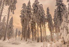 Обои лес, зима, снег, деревья, ели