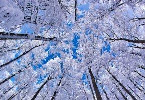 Обои лес, зима, высь, деревья