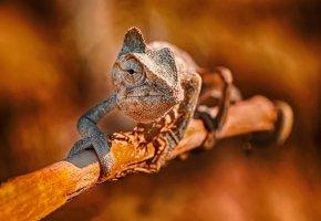 Обои ящерица, хамелеон, ветка, лапы, глаз