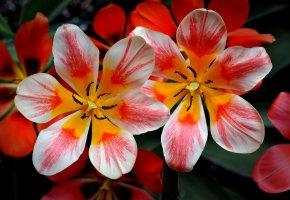Обои весна, тюльпан, лепестки, краски, цветок