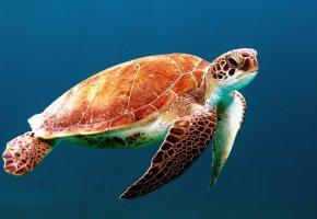 Обои морская, черепаха, океан, панцирь