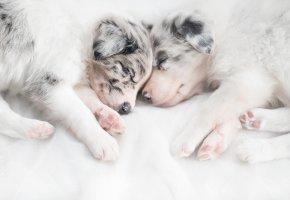 Обои щенки, собаки, дом, спят, лапы, морда