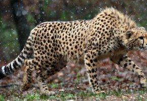 Обои гепард, взгляд, хищник, cheetah, охота, наблюдение