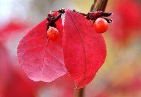 Обои плод, осень, листья, ягоды, макро