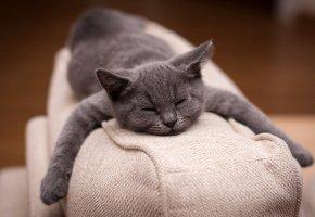 Обои кот, диван, лапы, морда, уши