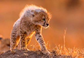 Обои гепард, маленький, хищник, шерсть, грива