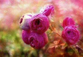 Обои розовые, розы, макро, бутоны