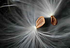 Обои макро, пух, одуванчик, семена