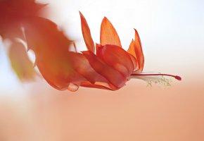 Обои природа, цветок, макро, пестик, нежность