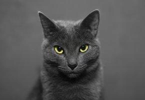 Обои животное, взгляд, кошка, кот, морда, уши, глаза