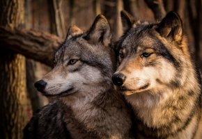 Обои Волки, пара, семья, серые, морда, хищник