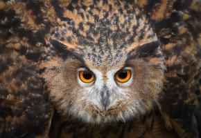 Обои сова, птица, смотрит, глаза, перья, клюв