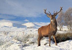 Обои трава, рога, олень, деревья, красавец, зима, снег, солнечно
