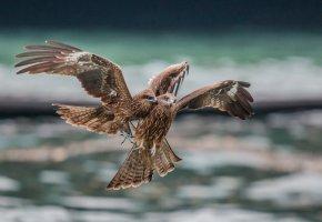 Обои птицы, хищник, полет, бой, крылья