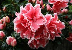 Обои рододендрон, цветок, бутон, лепестки