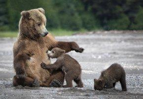 Обои медведи, медведица, медвежата, мама, мишки