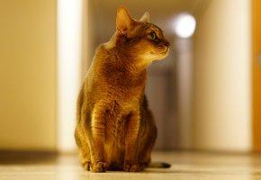 Обои кот, кошка, лапы, хвост, позирует, уши