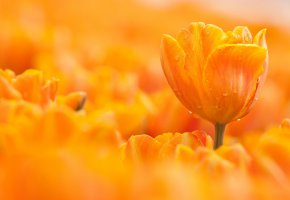 Обои капли, цветок, тюльпан, оранжевый, макро