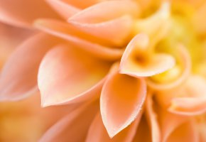 Обои капли, цветок, лепестки, макро