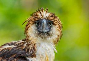Обои птица, Philippine Eagle, клюв, перья, взгляд