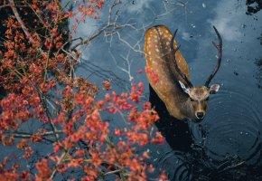 Обои олень, животное, рога, вода, взгляд