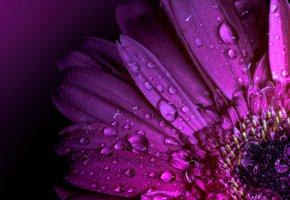 Обои капли, цветок, лепестки, гербера, макро