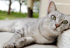 Обои кот, морда, усы, нос, уши, глаза, лапы, серый