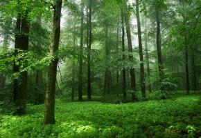 Обои Лес, деревья, природа, зелень, листья