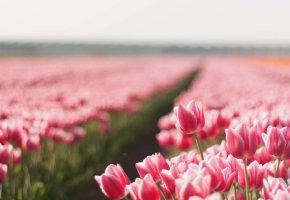 Обои тюльпаны, цветы, природа, Поле, лето, бутоны