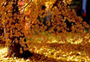 Обои листья, желтые, природа, деревья, осень, клен