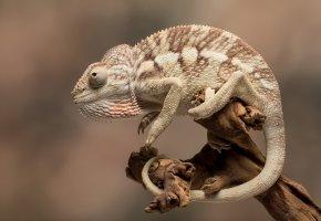 Обои природа, фон, хамелеон, глаз, хвост, палка