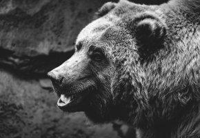 Обои медведь, взгляд, фон, пасть, шерсть, морда