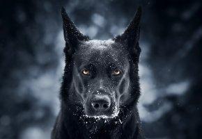 Обои Пес, Немецкая овчарка, морда, снег, взгляд, собака