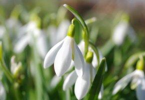 Обои весна, макро, подснежник, цветок